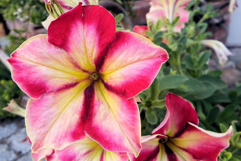 Petunia, Flowers, Garden Petunia, Ornamental Plant
