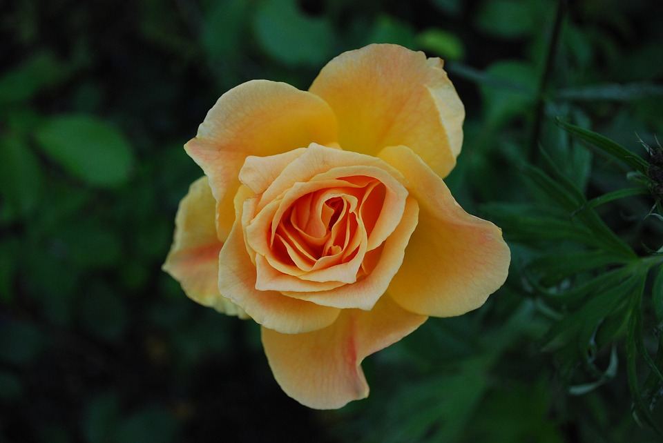 Nature, Rose, Flowers, Yellow, Plant, Garden Rose