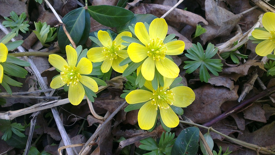 Free Photo Flowers Garden Winter Aconite Yellow Spring Forest