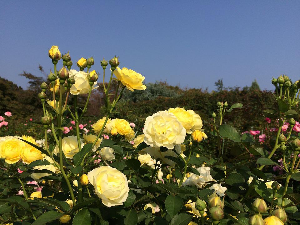 Rose, Yellow, Flowers, Garden