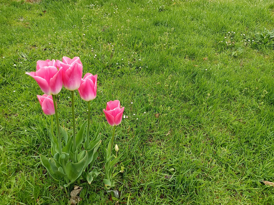 Tulips, Grass, Flowers, Pink Tulips, Pink Flowers