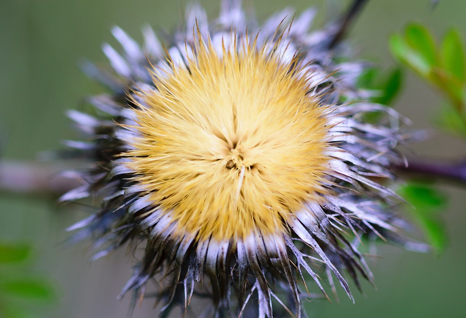 Nature, Dandelion, Plant, Green, Summer, Flowers