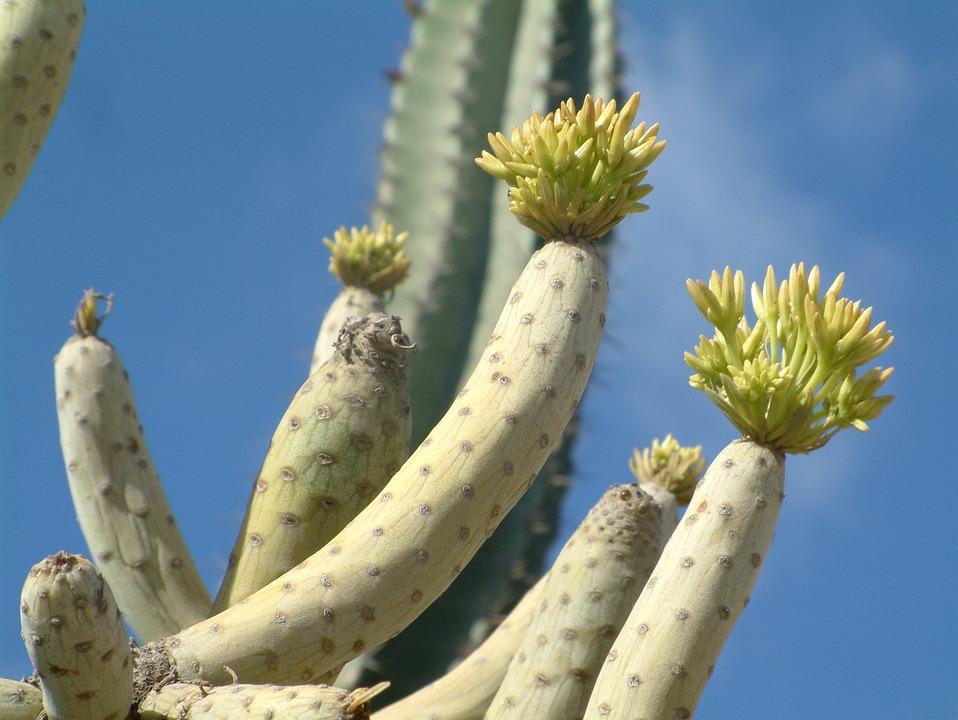 Plant, Succulent, Cactus, Flowers, Nature, Green