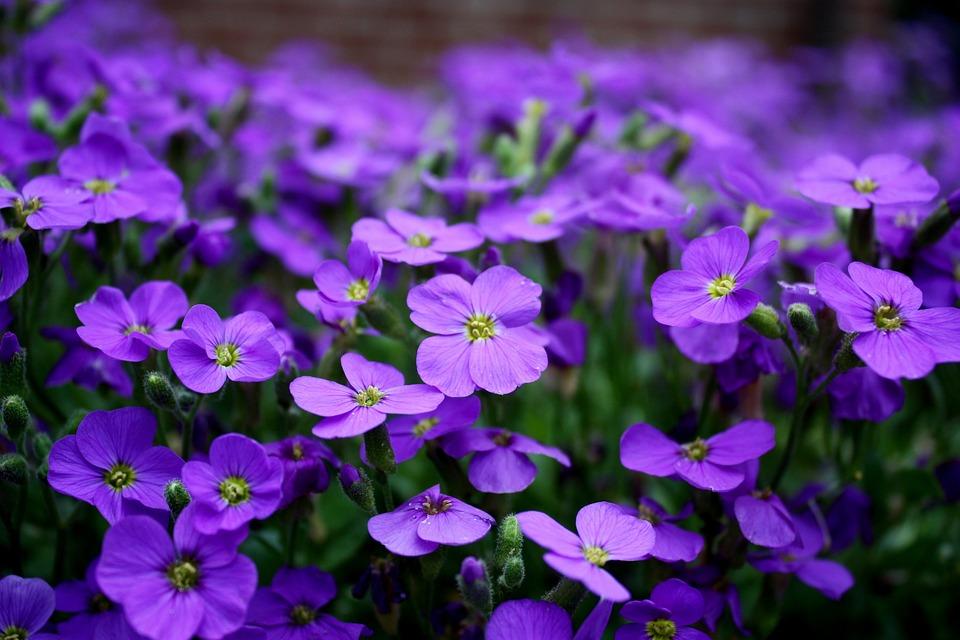 Flowers, Purple, Ground Cover, Close Up, Purple Flower