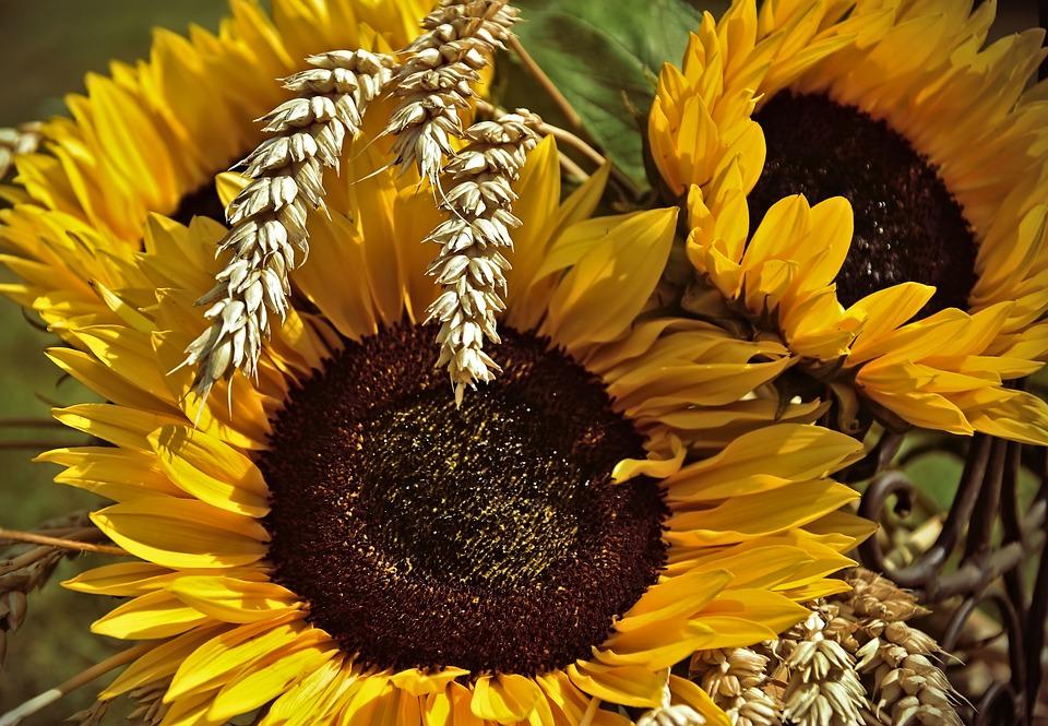 Sunflower, Flowers, Wheat, Spike, Cereals, Harvest