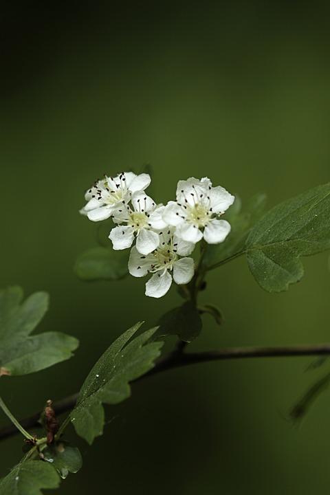Hawthorn, Flowers, Baird, Nature