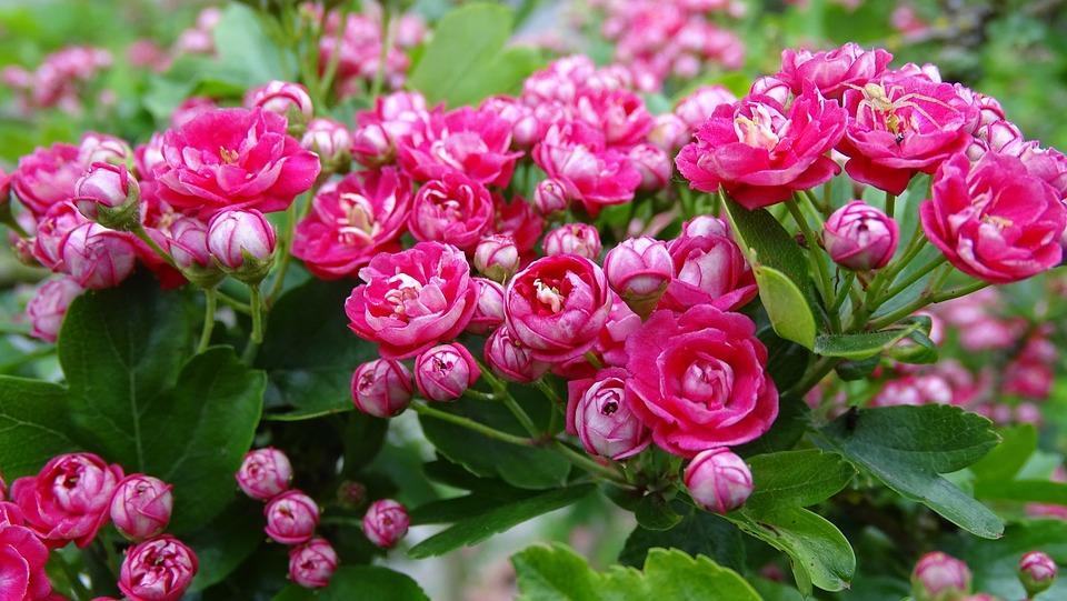 Hawthorn, Flowers, Pink Flower