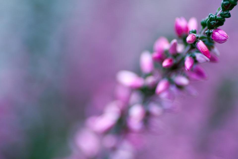Heide, Heather, Erika, Flowers, Pink, Autumn, Nature