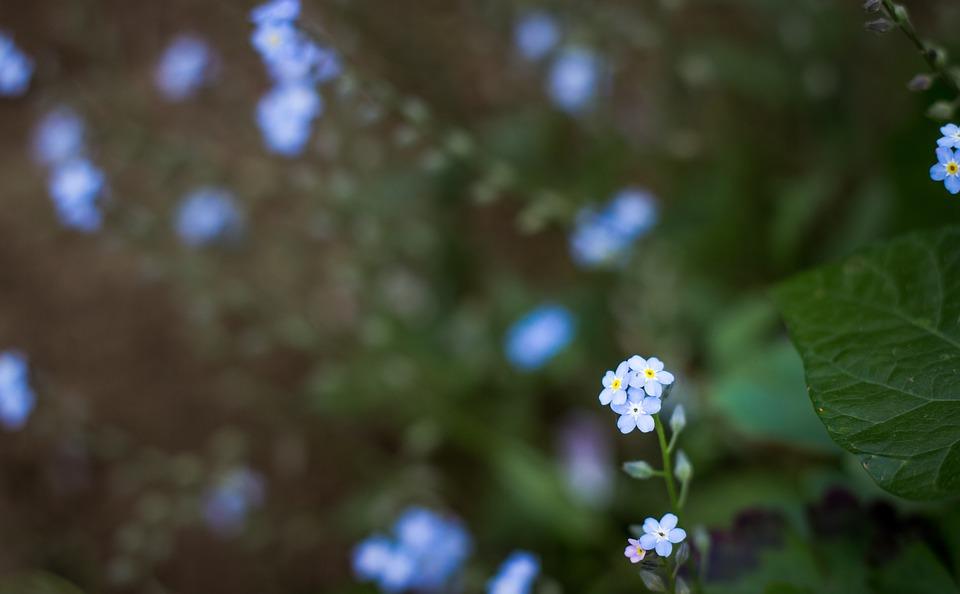 Flowers, Plant, Blue, Nature, Bush, Macro, Hepatica