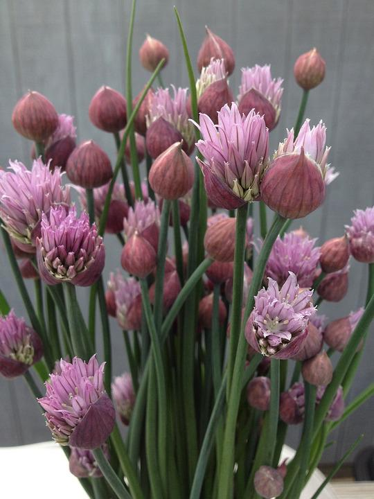 Chives, Flowers, Nature, Herb, Plant, Garden, Blossoms