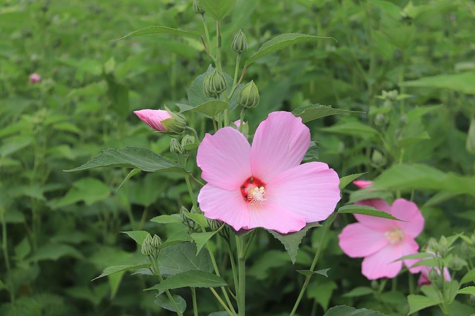 Hibiscus Mutabilis, Hibicus, Flowers, Summer, Nature