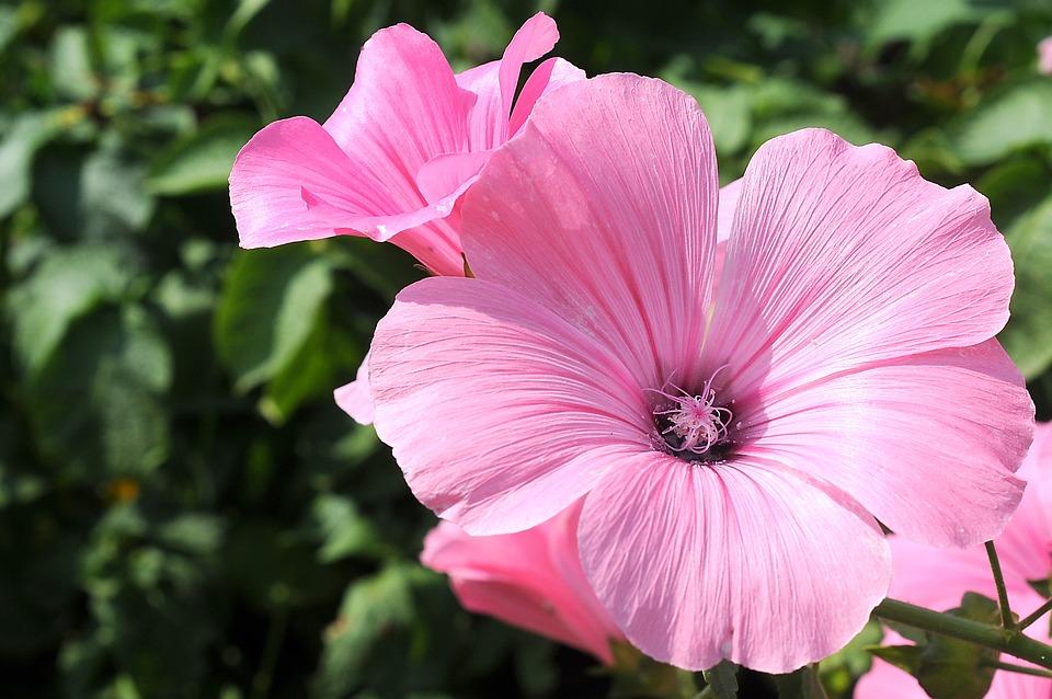 Hollyhocks, Flowers, Pink Flowers, Petals, Pink Petals