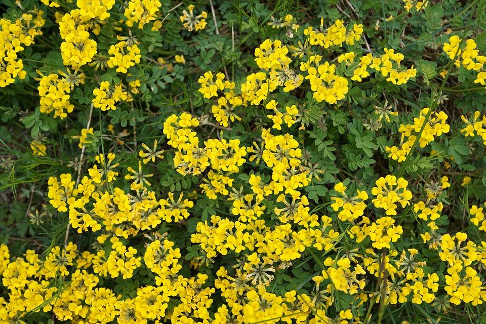 Horseshoe Vetch, Flowers, Yellow