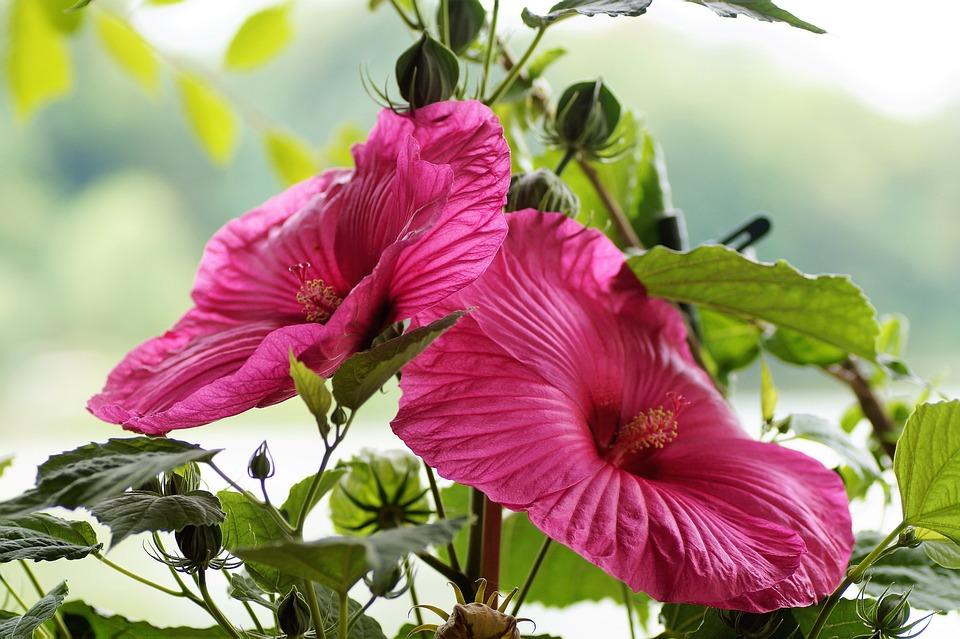 Hibiscus, Mud, Huge, Flowers, Flower, Pink, Plant