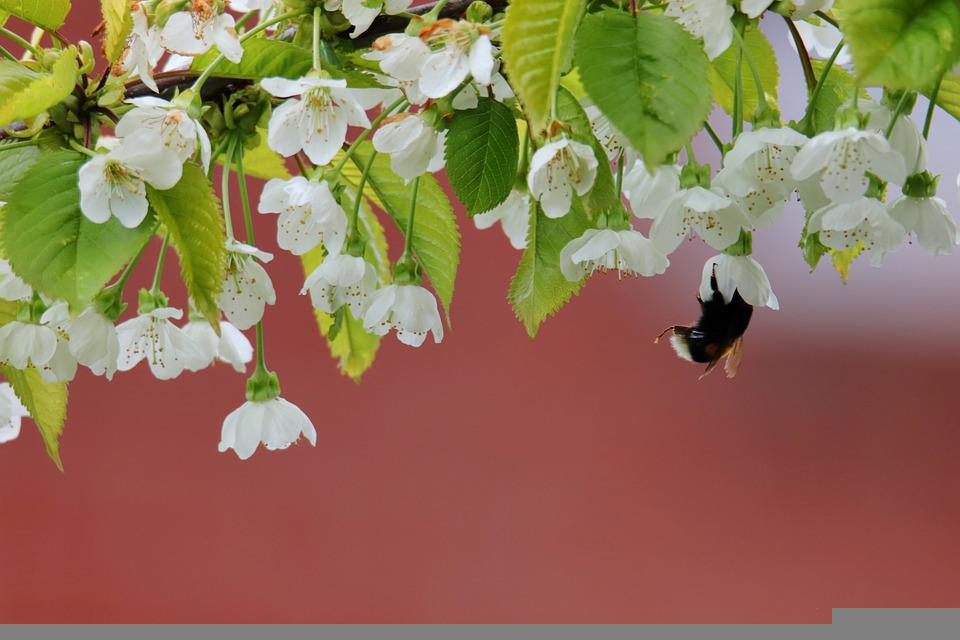 Hummel, Flowers, Insect, Pollination, Pollinate