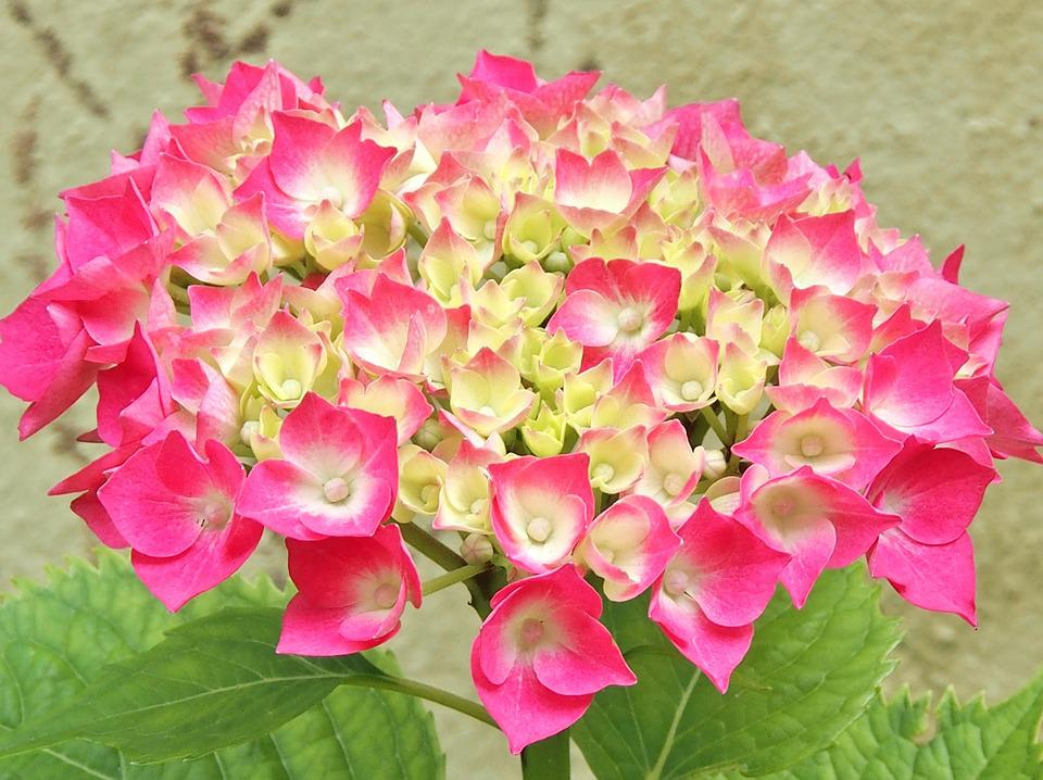 Free photo Flowers Hydrangea Hydrangea Bush Single Flower Pink - Max ...
