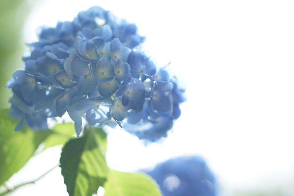 Flowers, Hydrangea, Hydrangea Flowers, Plant, Purple