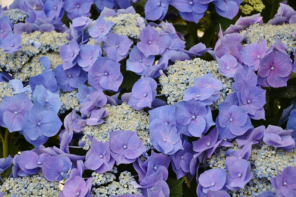 Hydrangeas, Flowers, Purple, Blue, Flower, Garden