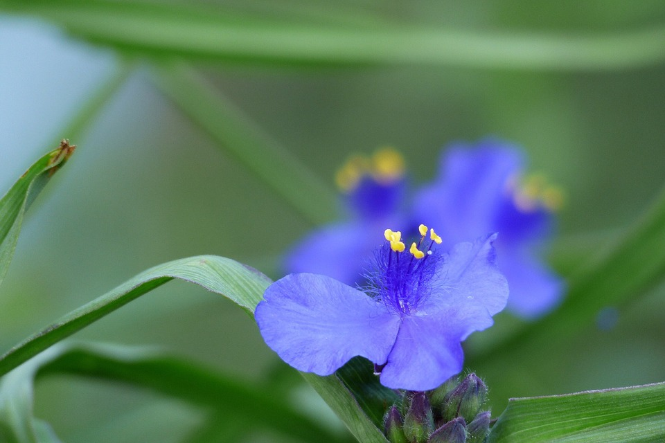 Flowers, In The Early Summer, Japan, Spiderworts
