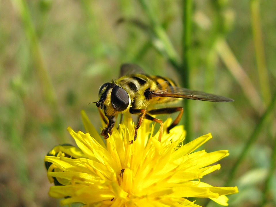 Fly, Bee, Insect, Flowers, Dandelion, Summer, Meadow