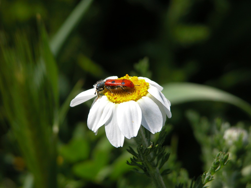 Daisy, Insect, Nature, Flowers, Flower With Insect