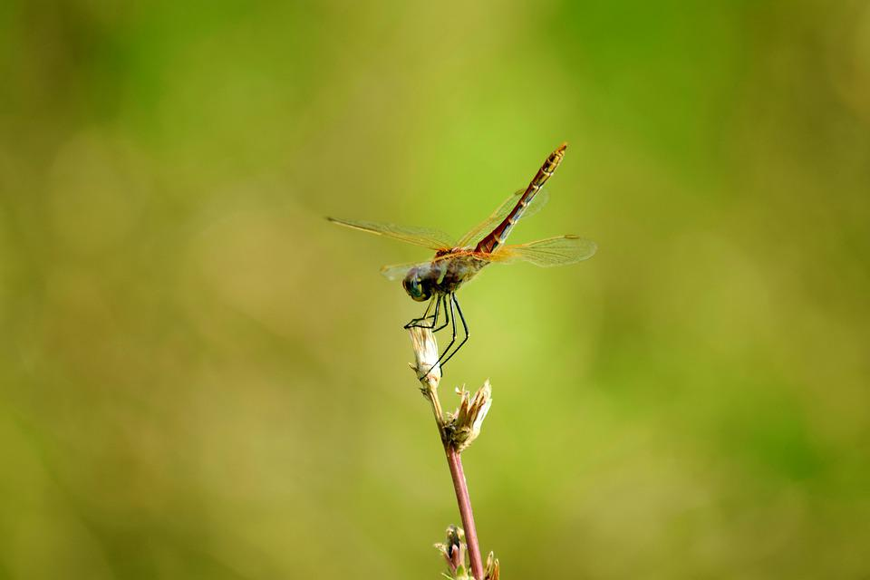 Dragonfly, Red, Nature, Wing, Insect, Flying, Flowers