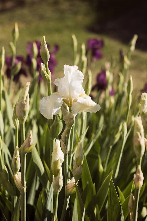 Iris, Flowers, Beauty, Garden, Earth
