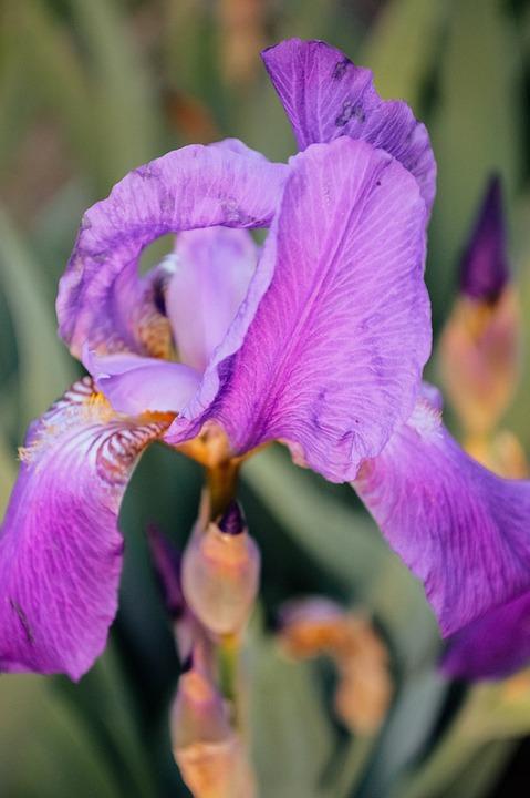 Iris, Irises, Flowers, Purple Iris, Beautiful Flower