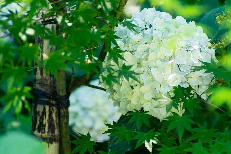 Hydrangea, Plant, Japan, Flowers, Rainy Season, White