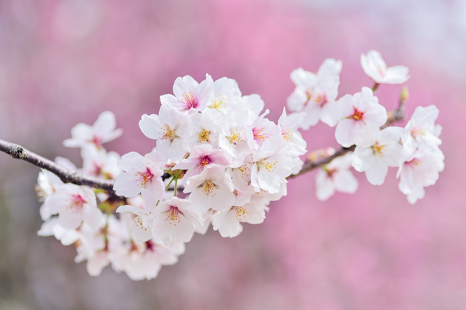 Japan, Landscape, Spring, Plant, Cherry, Flowers