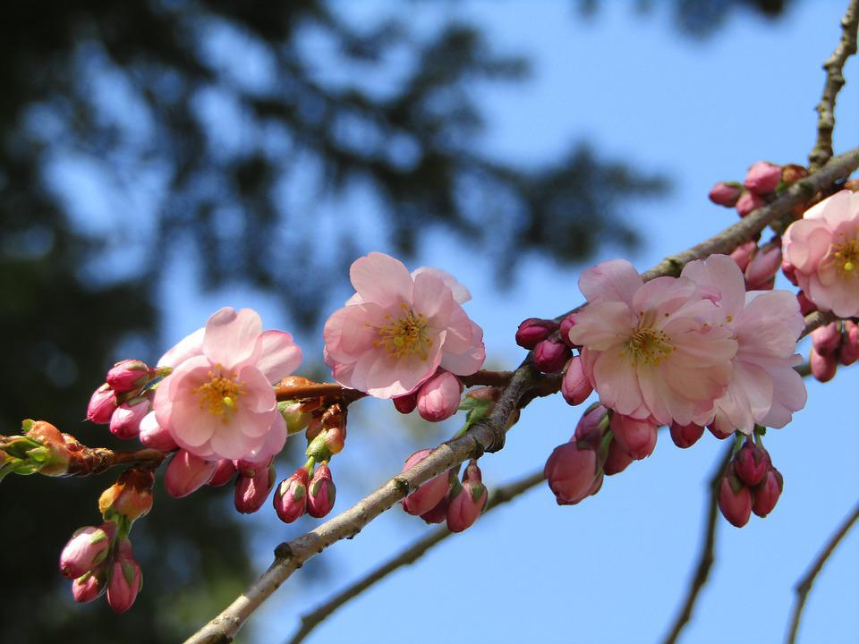 Japanese Cherry, Spring, Pink, White, Flowers, Branch