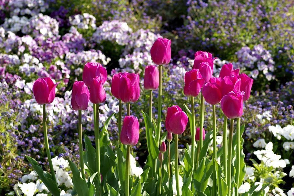 Tulips, Pink, Karmazynowe, Flowers, Garden, Rabatka