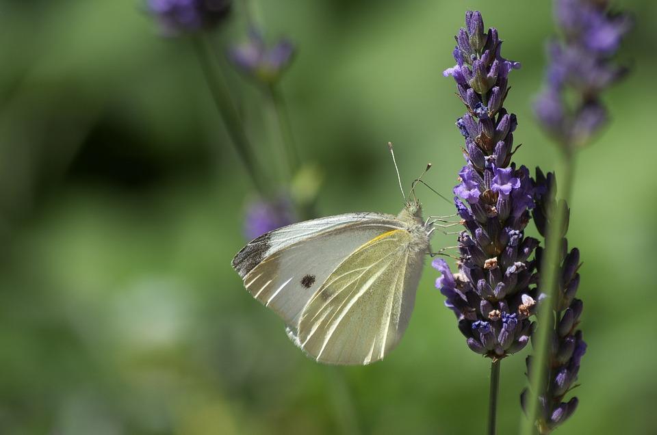 Butterfly, Lavender, Plant, Flowers, Close, Garden