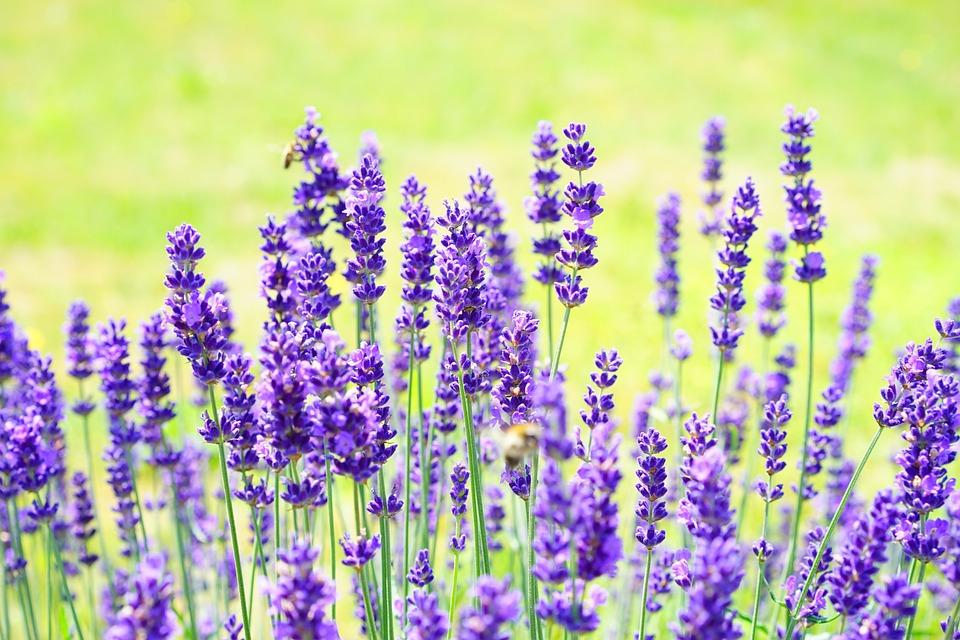 Lavenders, Flowers, Garden, Lavender Field