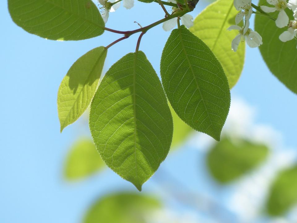 Common Bird Cherry, Leaves, Green, Flowers
