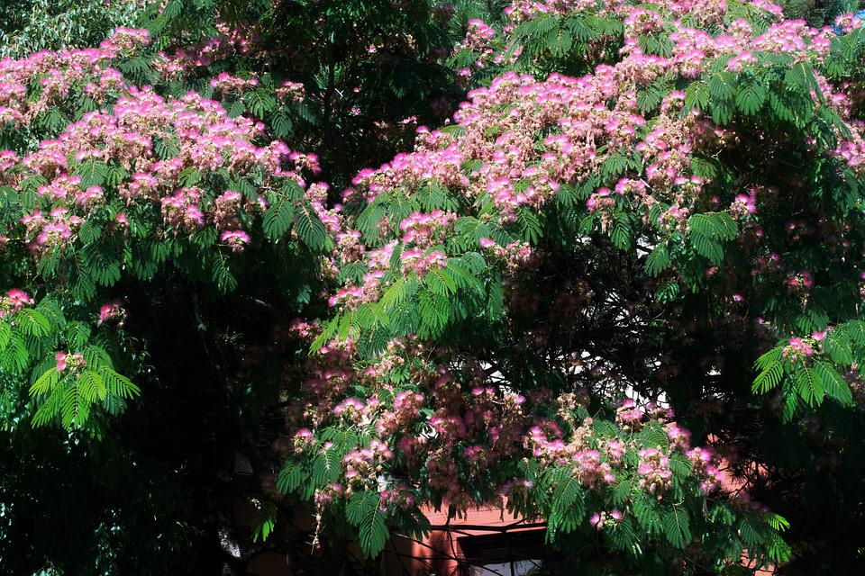 Flowers, Pink, The Silk Tree, Top, Nature, Leaves