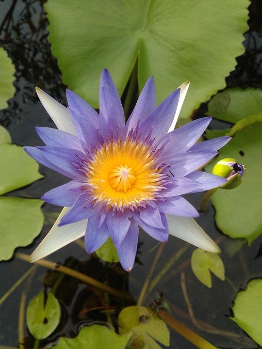 Lotus, Beautiful, Bright, Flowers, The Environment