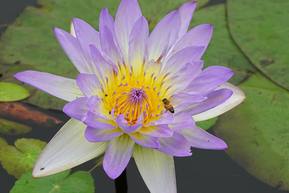 Lotus Ffflower, Lotus, Pond, Flowers, Nature, Pink
