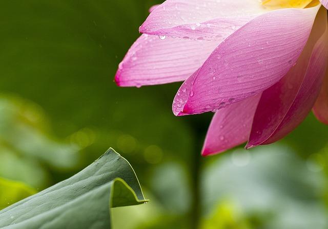 Lotus, Flowers, Nature, Lotus Leaf, Pink, Goods