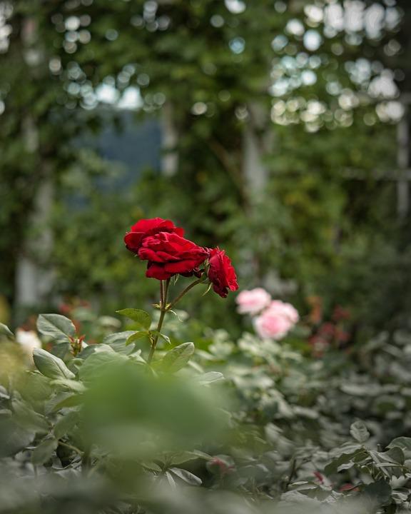 Rose, Red, Garden, Flowers, Love, Bloom, Blossom, Plant