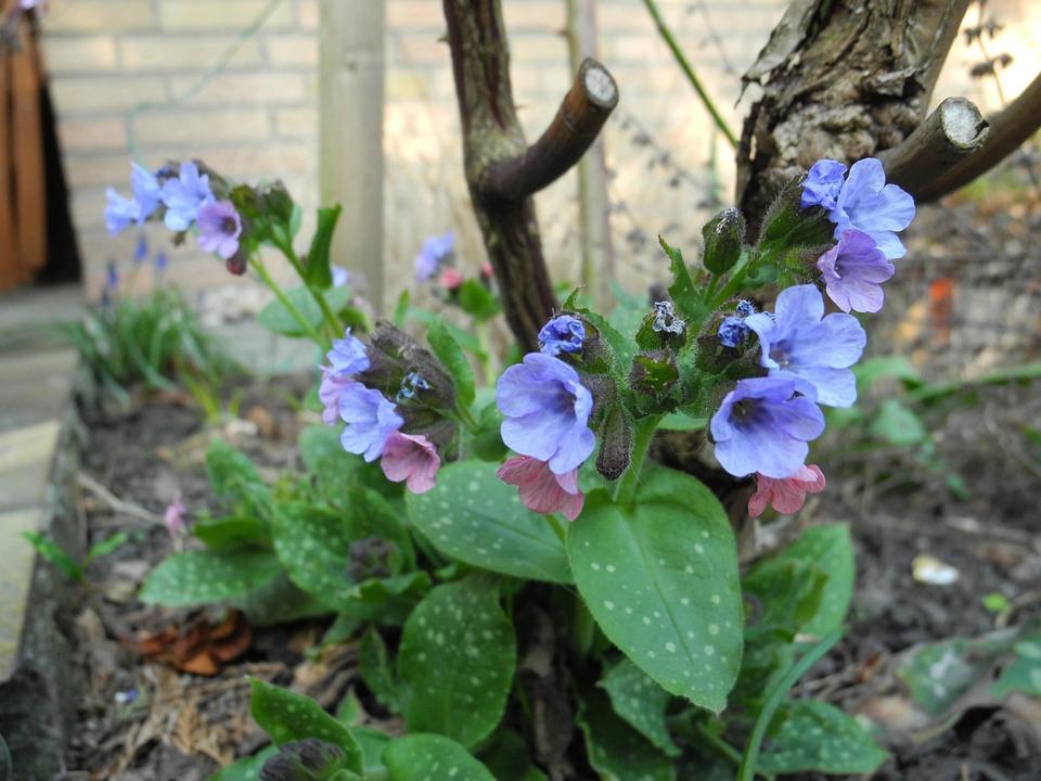 Flowers, Blue, Lungwort, Garden