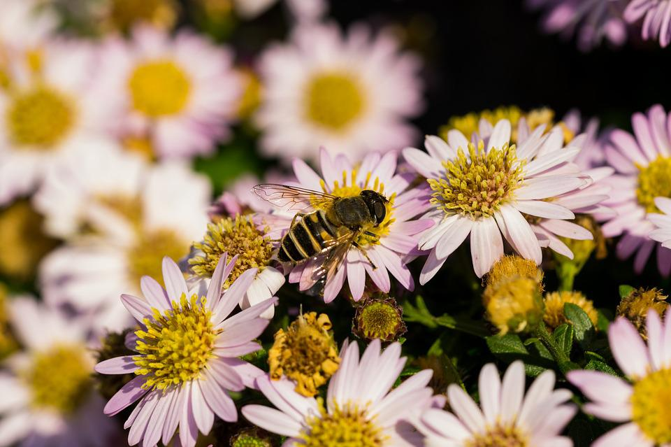 Hoverfly, Flowers, Macro, Garden, Insects