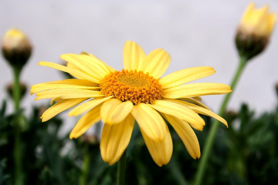 Chrysanthemum, Yellow, Macro, Flowers, Nature, Plant