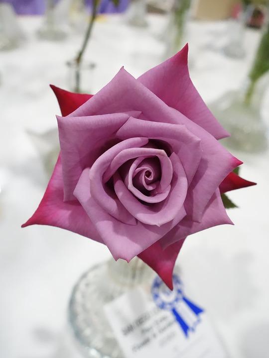 Free Photo Flowers Magenta Rose Pink Blossom Vase Fuschia Max Pixel
