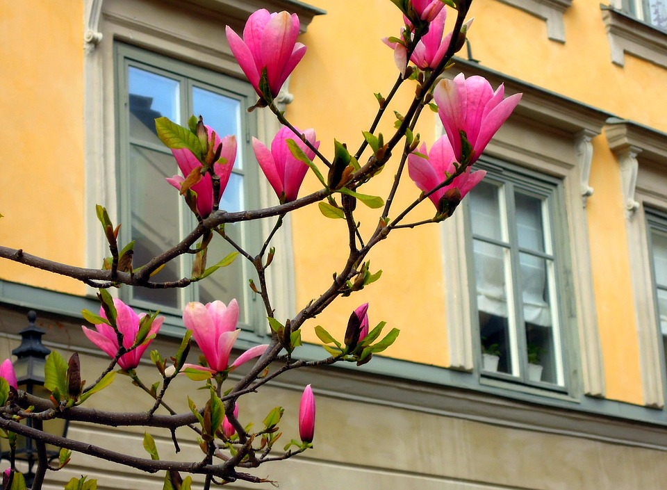 Magnolia, Flowers, Dissolved, Nature, Beautiful, Flower