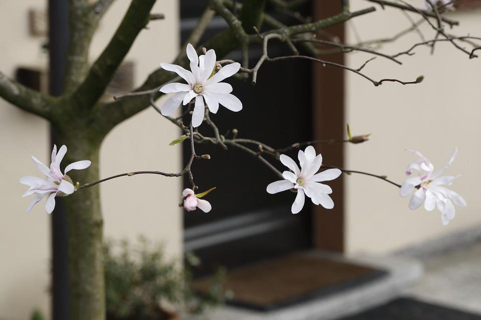 The Threshold Of The House, Magnolia, Flowers, White