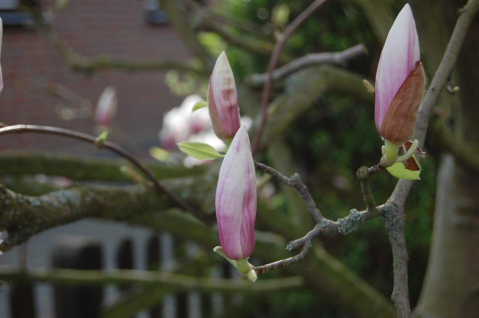 Magnollien, Blossom, Bloom, Pink, Flowers, Purple