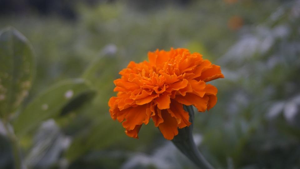 Free photo Flowers Marigold Flower Orange Marigold Nature - Max Pixel