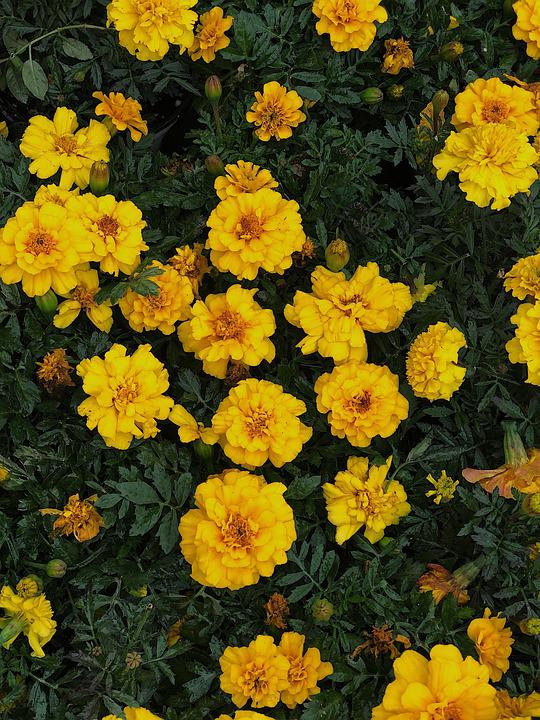 Yellow, Marigold, Marigolds, Flowers, Green, Leaves