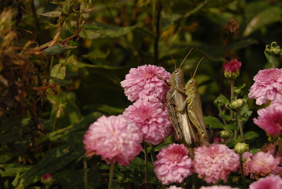 Grasshopper, Mating, Pink, Flowers